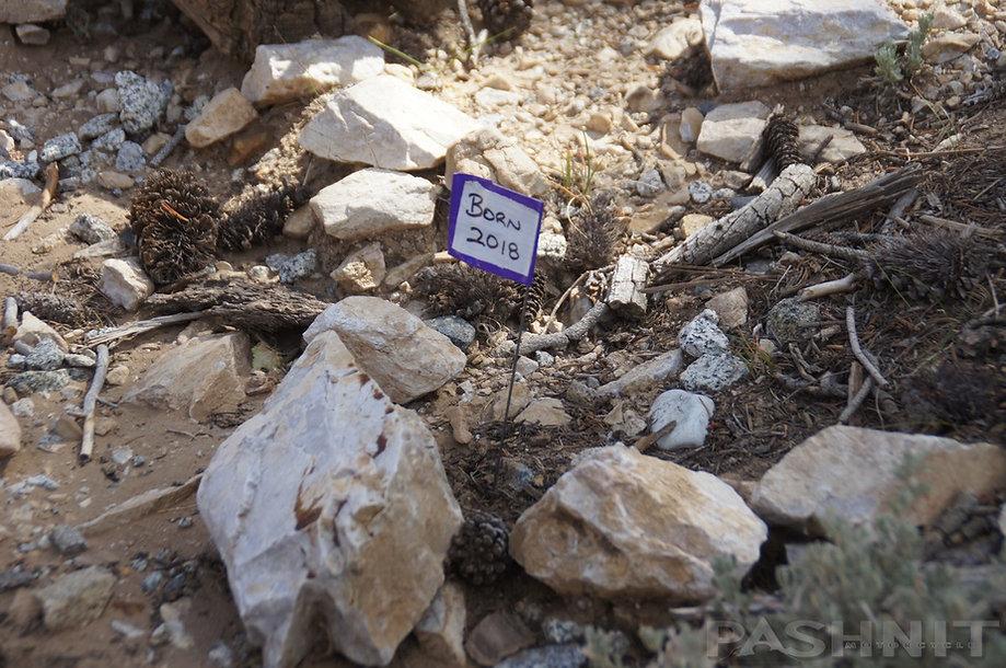 Ancient Bristlecone Pine born in 2018