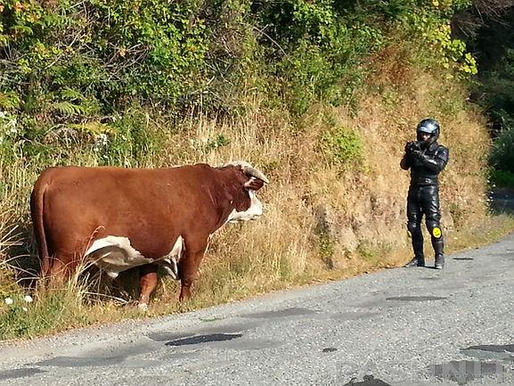 pashnit-cows-1-1200.jpg