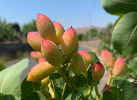 Travel with us to Bronte, the town of pistachios