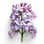 Lovely Lilac.png