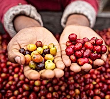 hands holding coffee cherries.