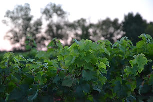 chatain-chatain-vignes