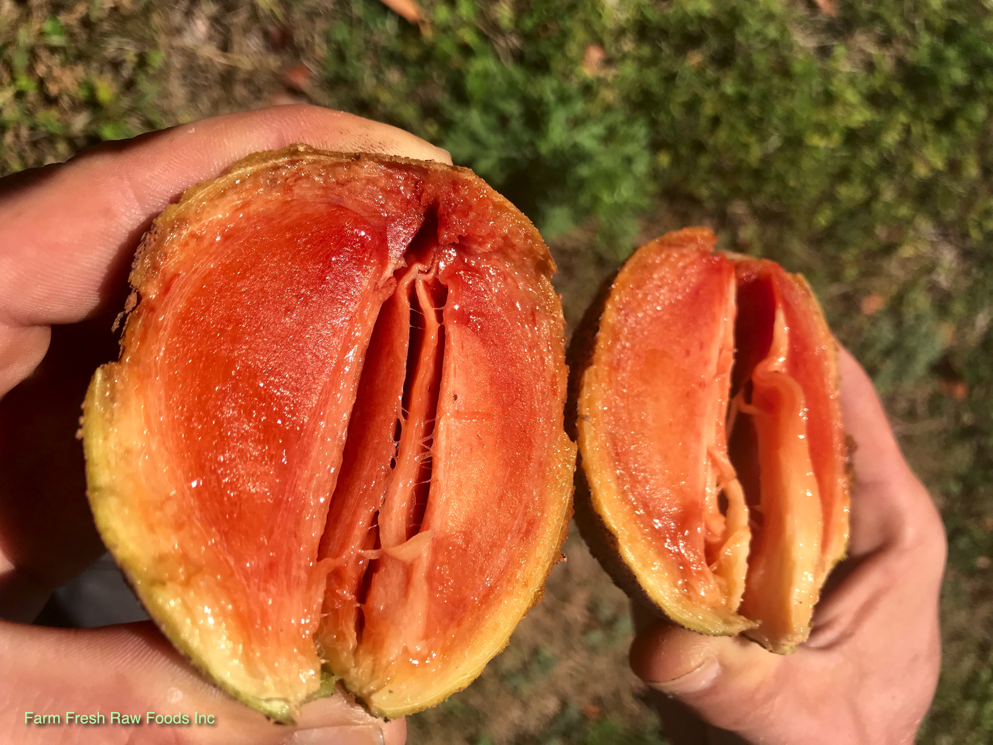 Sapodilla FL ripe on tree
