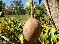 Sapodilla FL on tree