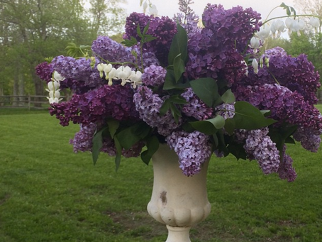 Featured Fiori: Lilac