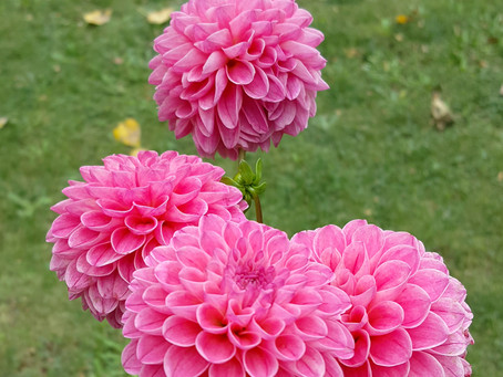 "Fun Fact Friday: Pronouncing ""Dahlia"""