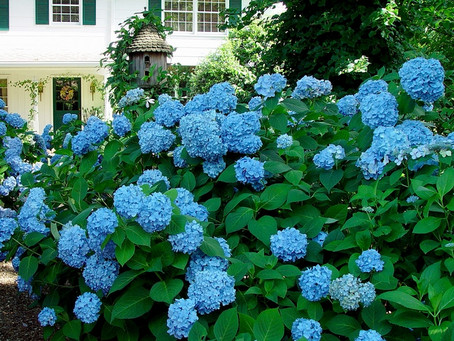 Floriography Friday: Hydrangea