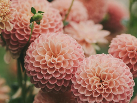 Featured Fiori: Dahlias