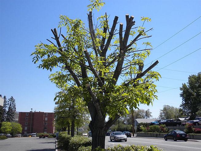 Topping-Trees.jpg
