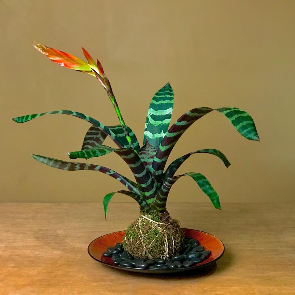 Flaming Sword Bromeliad