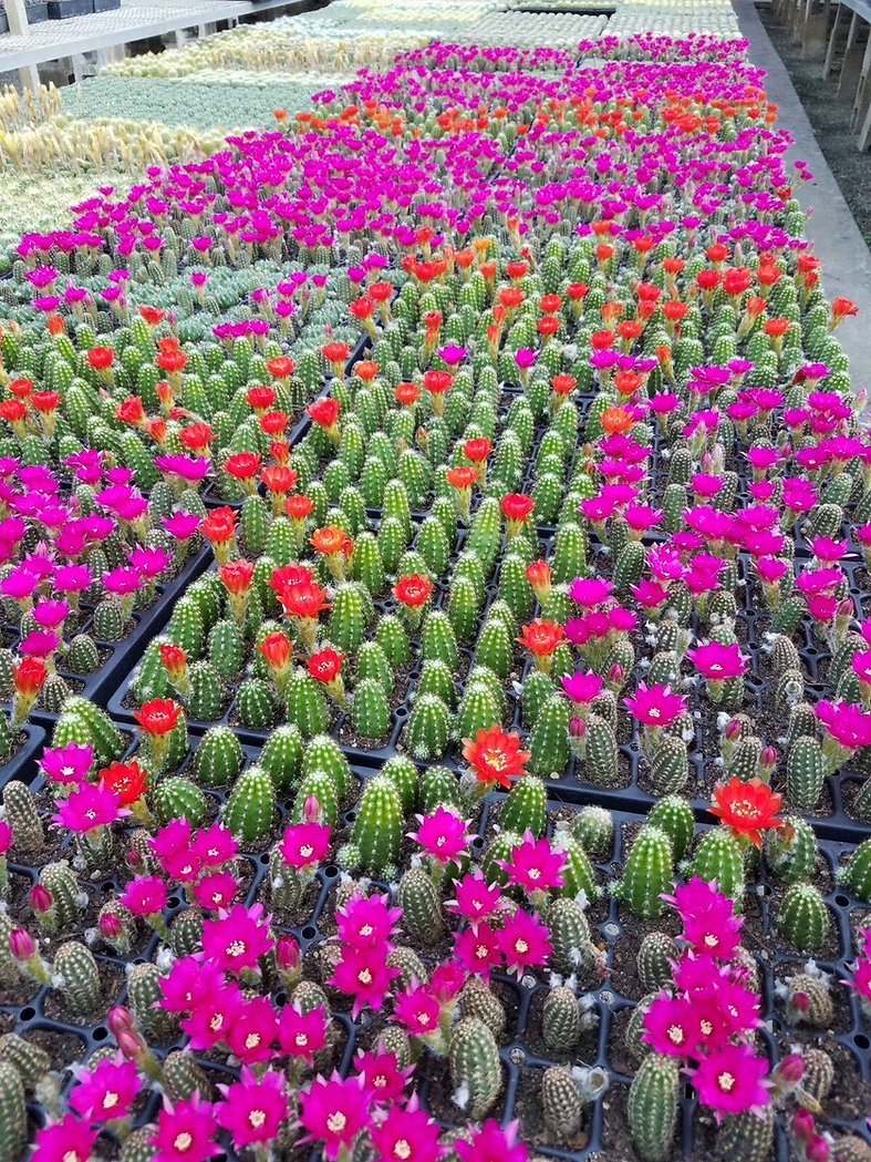 flowered cacti.jpg