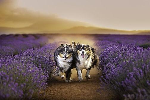 Animal-Dog-Photography-Bridestowe-Lavender-Estate-Tasmania-Deb-Sulzberger.jpg
