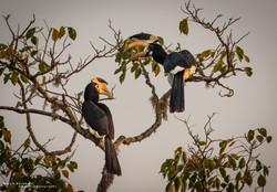 Hornbill Tree