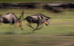 Migration Rush by Alex F Buchholz