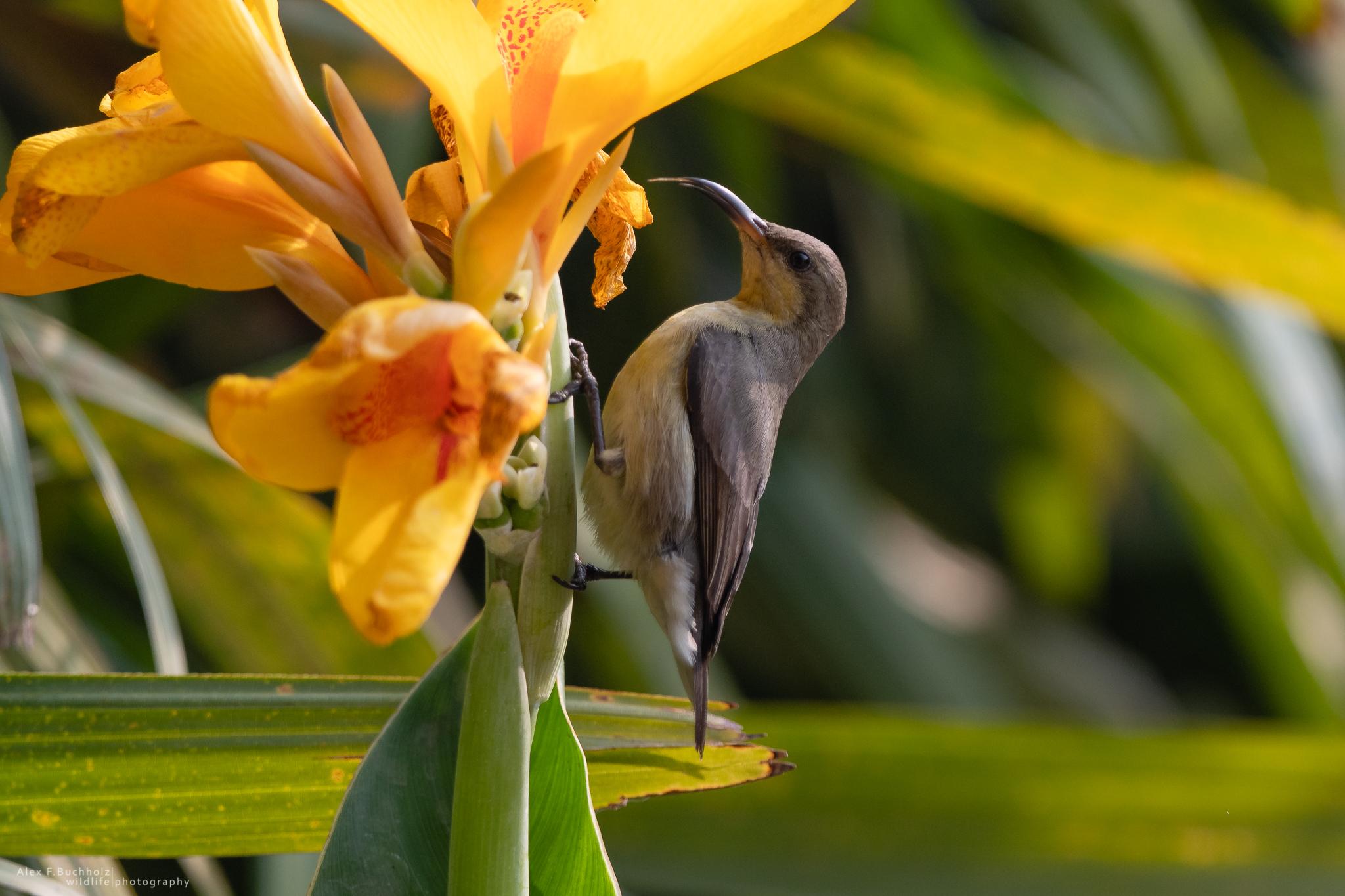 Indian Sunbird