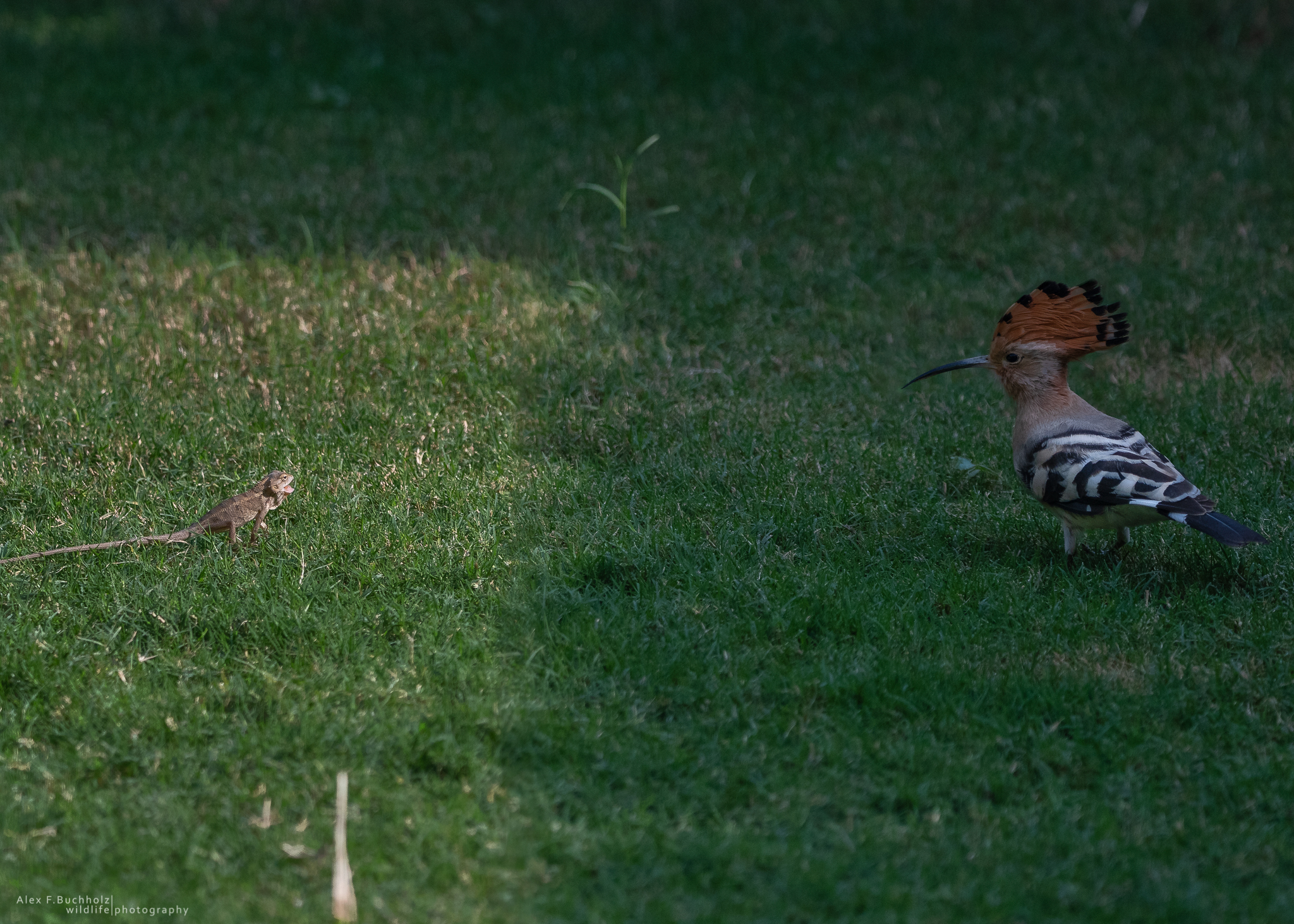 Hoopoes with Indian Lizard