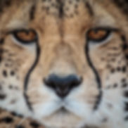Cheetah by Alex F Buchholz