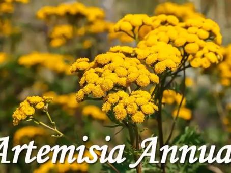 Artemisia une plante pas comme les autres