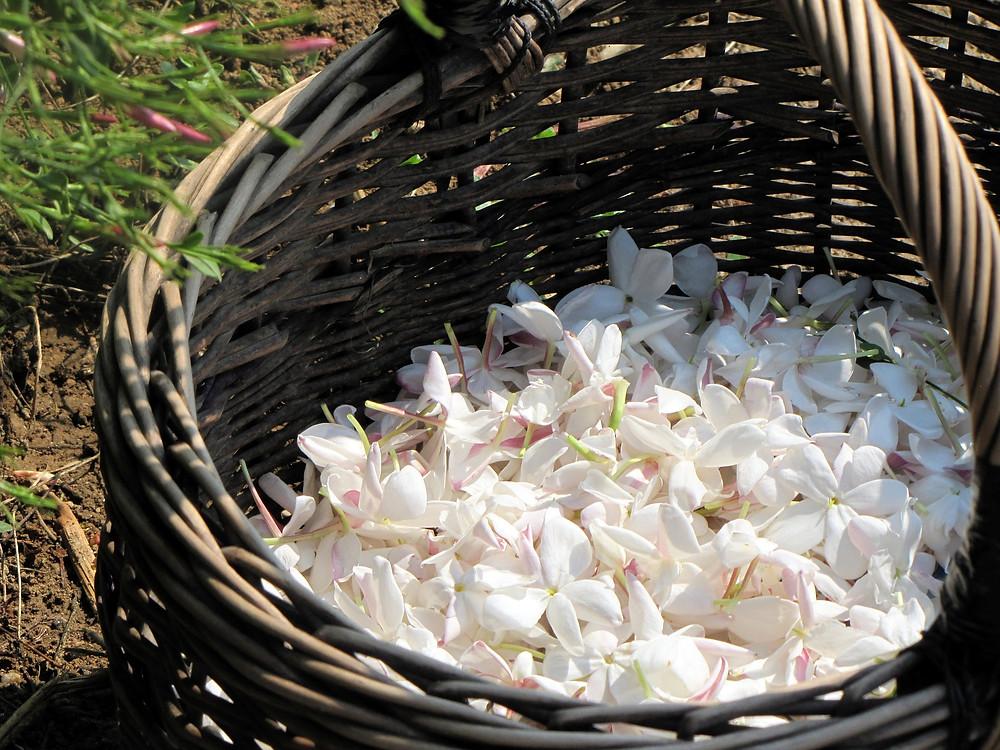 Fleurs du printemps le jasmin et chrysanthème