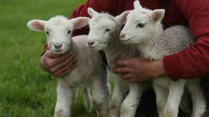 ovejas-cuidadas.jpg