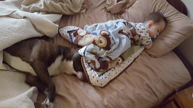 Québec: Un chien de type Pit Bull sauve la vie d'un enfant de 2 ans!