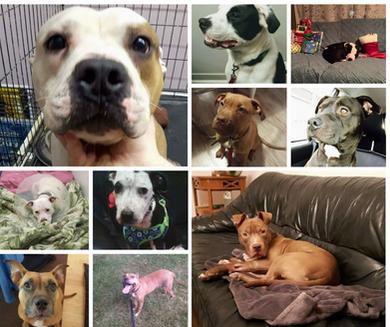 L'identification des chiens de type Pit Bull et ses effets négatifs