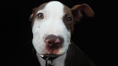 Comment lutter contre les mythes sur les chiens de type Pit Bull?