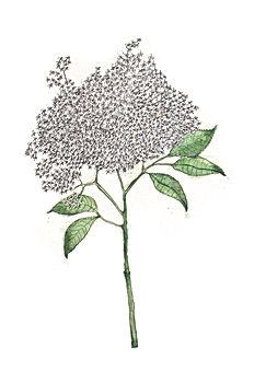 nature natuur natuurtekening illustration illustrator illustratie vlier elderberry wadden waddenagenda waddeneiland vlieland terschelling schiermonnikoog texel ameland botanisch botanical plants