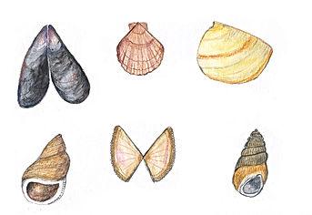 nature natuur sea zee natuurtekening schelpen strand wadden waddenzee waddeneiland schiermonnikoog vlieland terschelling ameland texel sea shells illustration illustratie illustrator