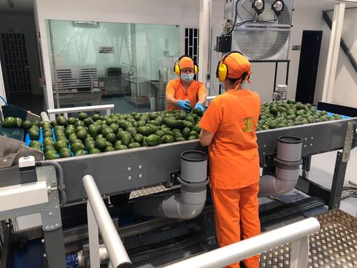 Compac, proveedor de la mayor planta de  aguacate Hass en la región