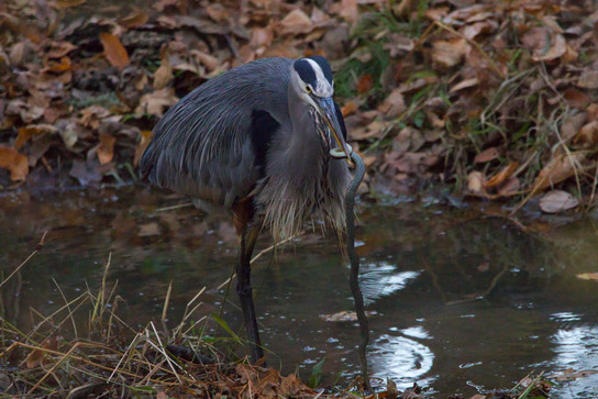 Great Blue Heron successfully fishing