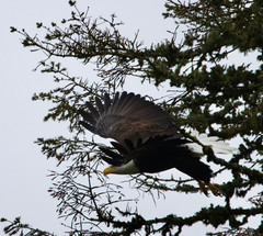 Blad Eagle leaving the nest