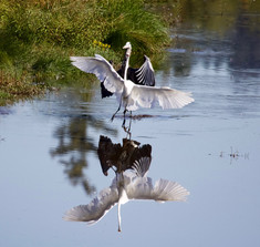 Great Blue Heron and an Egret