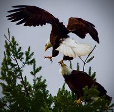 Bald Eagles landing at the Refuge