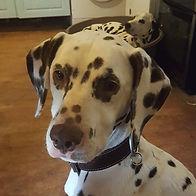 devon rescue dalmatian welfare adopt rehome