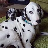 haribo rescue dalmatian welfare adopt rehome