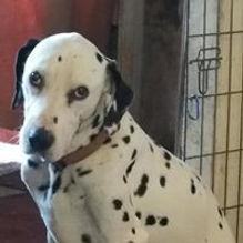Zak rescue dalmatian welfare adopt rehome
