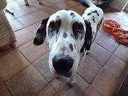 Logan rescue dalmatian welfare adopt rehome