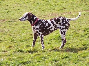 rescue dalmatian welfare adopt rehome