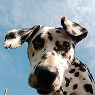 mouse rescue dalmatian welfare adopt rehome