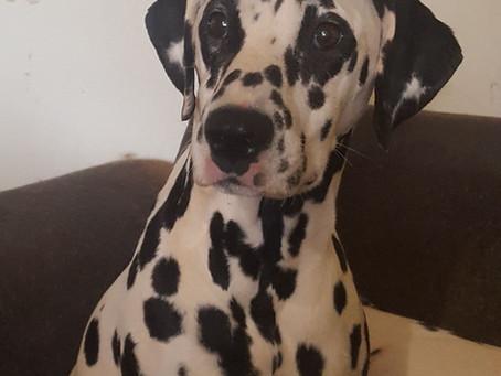 Adopt a DEAF Dalmatian !
