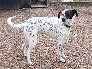 Fido rescue dalmatian welfare adopt rehome
