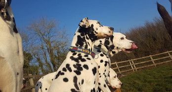 Dalmatians in a row