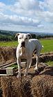 Snogga rescue dalmatian welfare adopt rehome