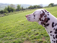 Odin rescue dalmatian welfare adopt rehome