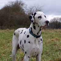 A Slim Haribo looking thoughtful rescue dalmatian welfare adopt rehome