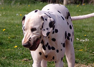 Denzel rescue dalmatian welfare adopt rehome