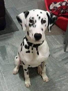 prince rescue dalmatian welfare adopt rehome