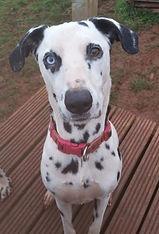 Paloma rescue dalmatian welfare adopt rehome