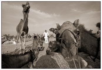 Camel Market, Rajasthan, India